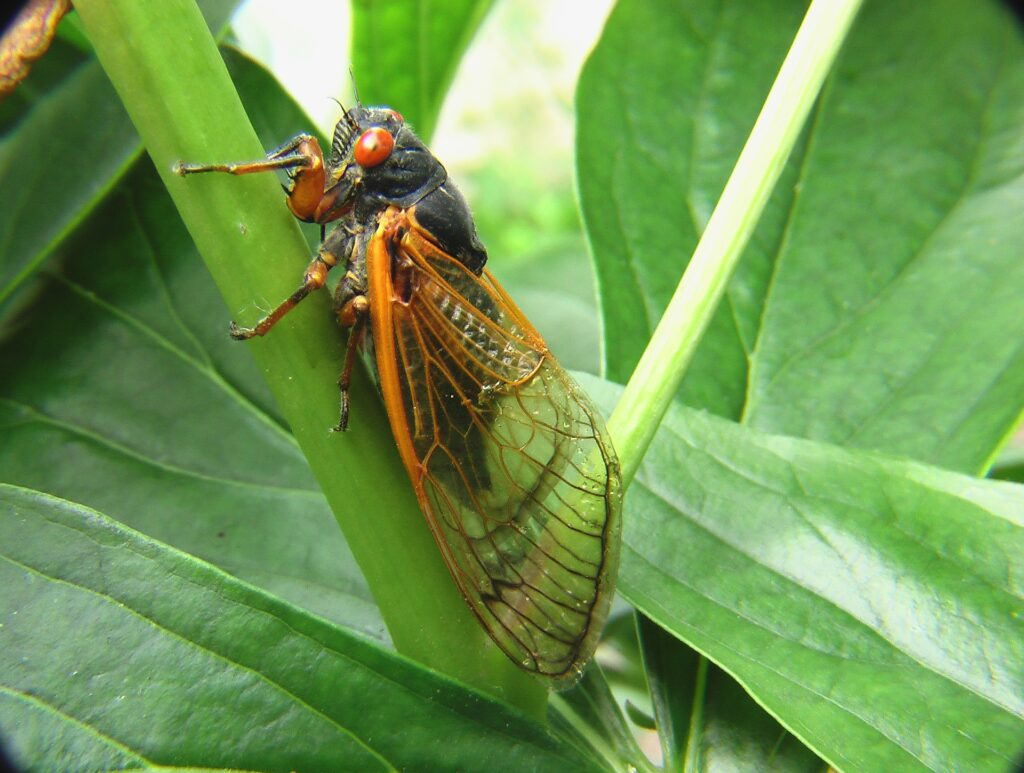 Brood X Cicada